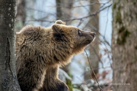 Brown bear (Ursus arctos) in the Slovenian Forest. Slovenia